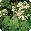 Sorbus torminalis, boom, planten, kleine, tuin, stadstuin, bomen, elsbes