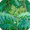 Ailanthus altissima, hemelboom, planten, boom, tuin, snoeien, wortelopslag, vuilboom