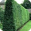 Wintergroene, hagen, planten,heesters, coniferen, taxus, thuja, leylandii, beuk, haagbeuk