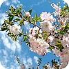 Prunus subhirtella Autumnalis: Japanse sierkers, sierkerselaar: planten, snoeien, mesten