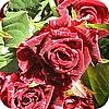 snijrozen, rozen, snijroos