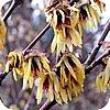 Chimonanthus, meloenboompje, winterzoet, struik, heerlijk, geurende, bloemen, winter, soorten struiken