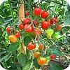 geschiedenis, tomaat, tomaten, kweken