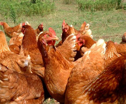Kippen-ABC van het ei met tips en weetjes over eieren en hun gezondheid