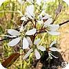 Amelanchier lamarckii, krentenboompje, soorten, amelachier, krentenboom, planten bomen, struiken