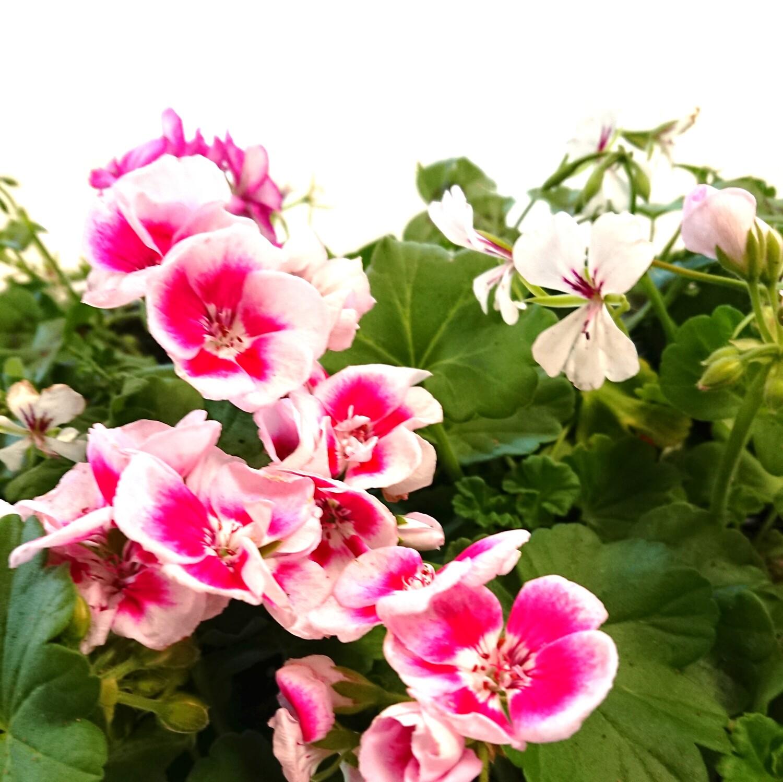 Pelargonium, geranium, soorten, stekken, bloembakken, vermeerderen, geraniums, soort, dubbele, bloemen, water, geven