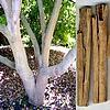 Kaneelboom of Cinnamomum zeylanicum als leverancier van onze kaneelstokjes