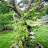 pereboom, peren, bomen, planten, gedicht, tuin, klimplanten, soorten