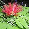 Calliandra is een mooie exotisch ogende kuipplant met opvallende bloemen