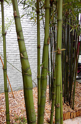 bamboe, woekerende, soorten, bamboes, snoeien, verwijderen, wortelbegrenzer, rhizoombegrenzer, fargesia