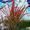 Imperata cylindrica 'Red Baron', Japans bloedgras, soorten siergras, gras, siertuin, rode bladeren, soorten japanse siergrassen