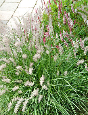 Soorten siergrassen, tuin augustus, bloei, gras, siertuin, tuinen, siergras, planten, border, miscanthus, bamboe