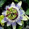 Passiflora caerulea, passiebloem, snoeien, overwinteren, stekken, vermeerderen, klimplant, kuipplant, lekkere, passievruchten, blauwe passiebloem, passiflora.