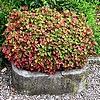 Houttuynia cordata, vaste planten, woekeren, verwijderen, moerasanemoon, woekerende planten, vernietigen, doden, bodembedekker