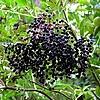 Vlierbessensiroop maken, vlierbessenjam, koken, bessen, vlier, Sambucus nigra, soorten siropen, maken