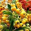 Vuurdoorn, Pyracantha, snoeien, bemesten, water, geven, voedsel, stekels, hagen, planten, kopen online bestellen