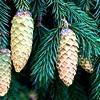 Picea, abies, sparren, soorten, kerstbomen, zilverspar, denappels, conifeer, naalden behouden, voorkomen naaldverlies, naaldbomen