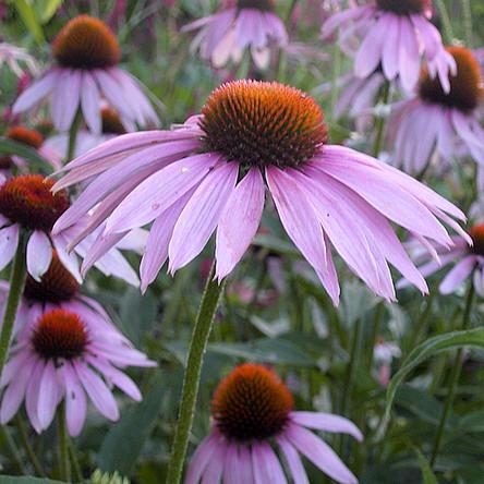 Echinacea purpurea, soorten, kruiden, kruidenbitter, maken, tinctuur, bereiden, rode zonnehoed, kopen