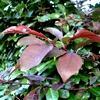 Prunus cerasifera, kerspruim, kroosjespruim, soorten prunus, sierkers, bloemen, roze, voorjaar