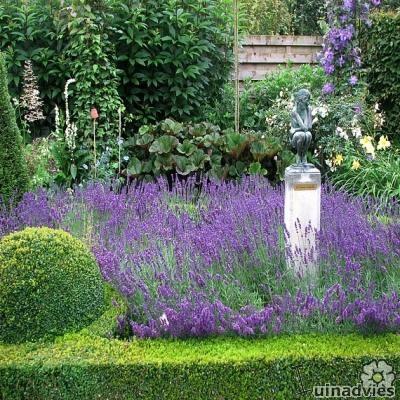 Lavendel, Lavandula, angustifolia, verzorging, tuin, kalk, soorten, planten, kopen, stekken, snoeien lavendel