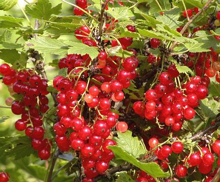 Aalbessen, Ribes rubrum, rode bes, trosbes, jenevers, verzorging, snoeien, soorten bessen