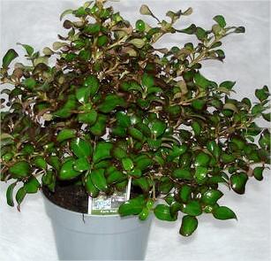 Coprosma, wintergroen, struikje, winterhard, kamerplant, struik, heester, speciaal