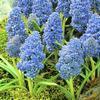 Muscari, soorten, blauwe druifjes, kopen, bestellen, bloembollen, blauwe bloemen, verzorging