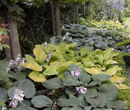vaste planten, hosta, bladeren, slakken, stuk bijten, bestrijden, soorten, planten, schaduw, schaduwtuin