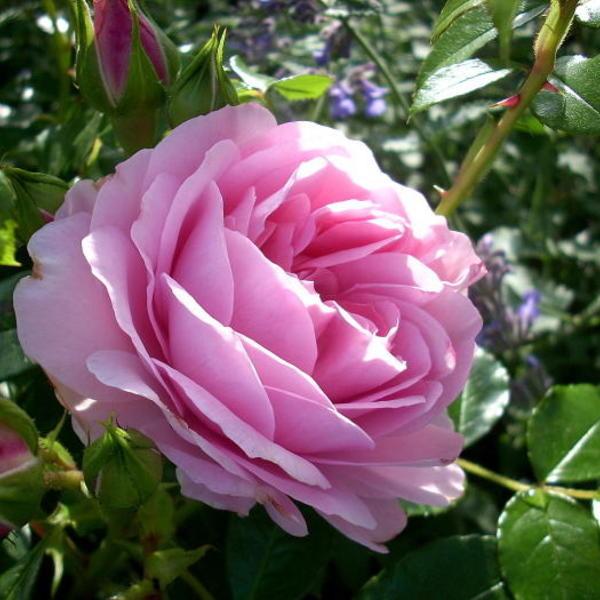 Ziekten en plagen op rozen