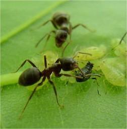 mieren bestrijding, poeder, stuifpoeder, kopen, bestrijden, mier, soorten, doden, nest, gazon