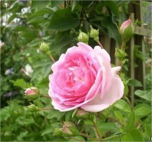 klimrozen, juni, rozen, snoeien, bemesten, verzorging, struik, rozenboog, stevig, goedkoop
