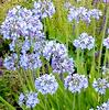 Agapanthus bemesten, Agapanthus, verzorgen, Afrikaanse lelie, overwinteren, pot, buiten, tuin, soorten, te koop, kwekerij, kiezen, soort, bloemen