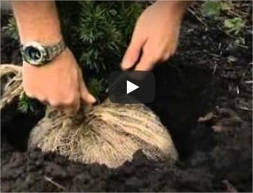 Haag planten, wanneer planten, hoe een haag planten, coniferen, soorten, afstand, hagen, soorten, taxus, kopen