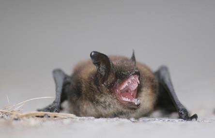 """Gevonden vleermuis opkweken """"Elsje"""" - 2011 is het jaar van de vleermuis"""
