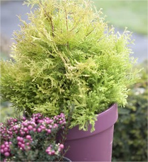 soorten coniferen, onderhoud op coniferen, conifeerhagen, haagjes van coniferen, confiren in pot