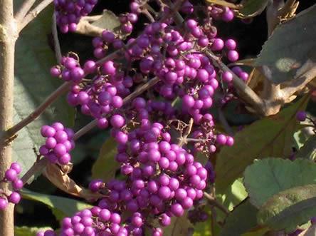 bessen najaar, vruchten najaar, soorten bessen, soorten vruchten, besdragende planten, bessen in de tuin, najaarsvruchten bloeien in de tuin, sierbomen in de herfst