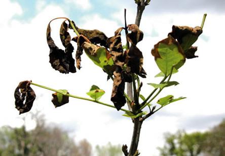 Vorstbescherming planten, bescherming tegen vorst, vorstgevoelige planten beschermen, agapanthus vorstschade, uitdroging bij planten door vorst, schadebeelden van vorstschade