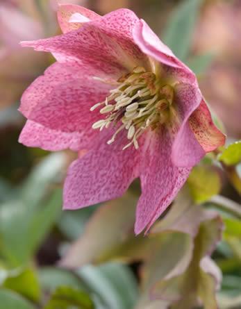 Helleborus, assortiment helleborussen, combinaties met bloemen van helleborus zoals Helleborus orientalis