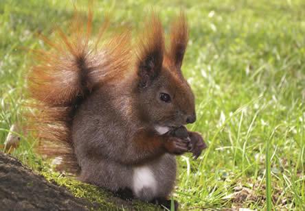 Eekhoorns in de tuin, eekhoorn spotten, inrichting eekhoornvriendelijke tuin, tuin inrichten ter bevordering van eekhoorns, eekhoorn nestkast kopen, eekhoorn voeder
