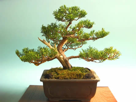 Bonsai als kamerplant