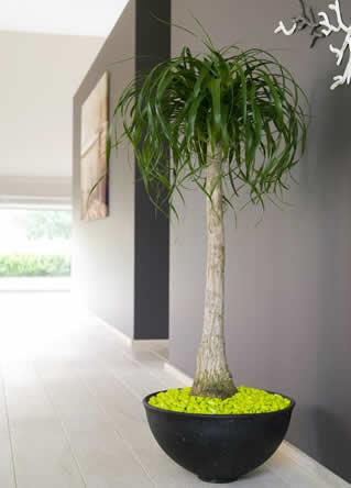 Plaatsvervanger voor de kerstboom, kamerplanten in de woonkamer, kamerplant als plaatsvullend element