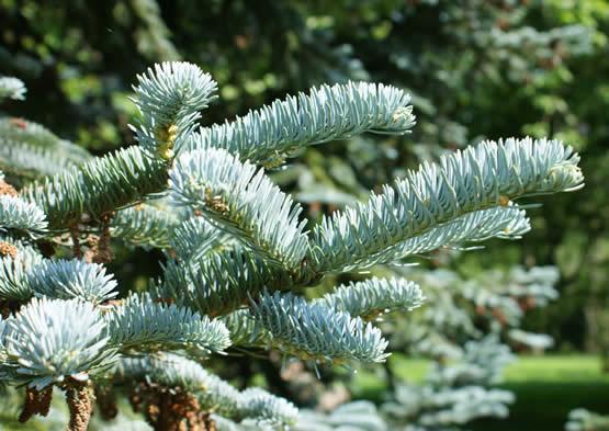 Coniferen in de wintertuin