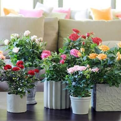 Potroos kamerplant, potroos woonplant, potrozen verzorgen, snoeien van potrozen, roos in een pot kweken