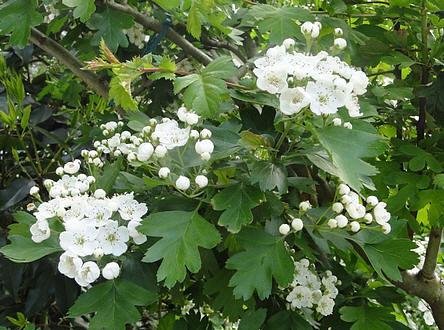 Meidoorn voor meidoornhaag planten - meidoorn snoeien na de bloei