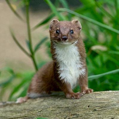 Soorten marterachtigen: wezel, hermelijn, bunzing, fred, steenmarter en boommarter