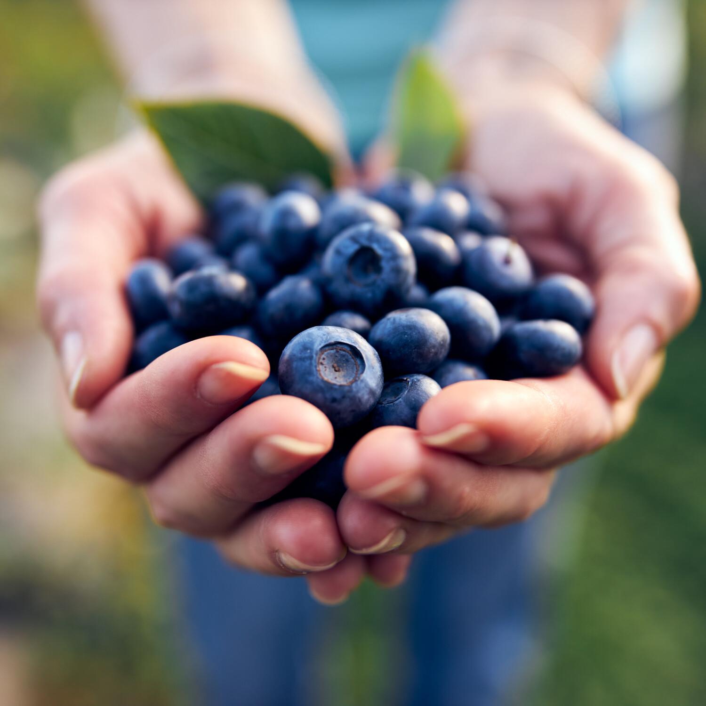 Blauwe bessen, planten, kweken, recepten blauwe bessen, Vaccinium corymbosum, struiken kweken