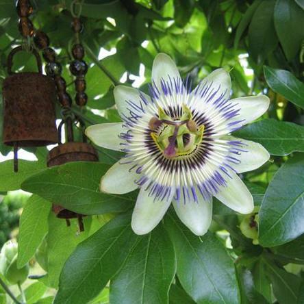 Passiflora legende, legende passiflora, gedicht, passieflora, passiebloem, apostelen, jezus