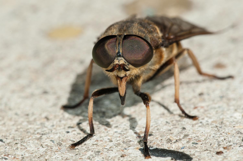 Dazen, steekvliegen of paardenvliegen genoemd