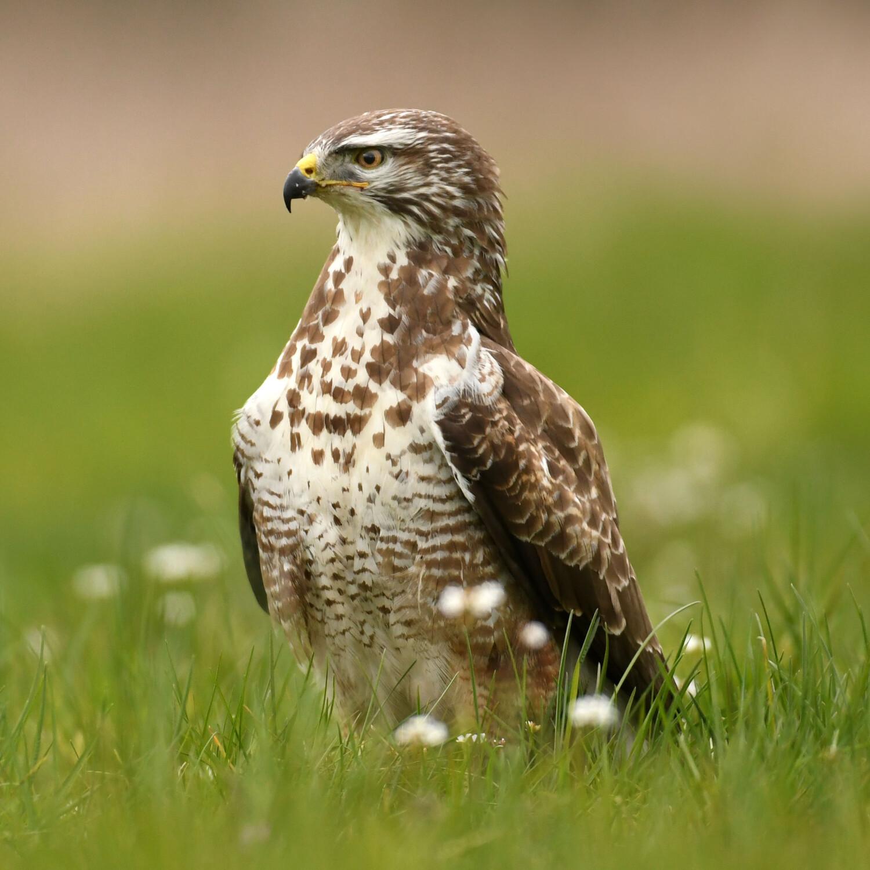 Soorten roofvogels, torenvalk, havik, slechtvalk, sperwer, buizerd, soorten uilen