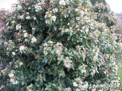 Sierheesters bloei november, najaarsbloeier struiken, soorten struiken winterbloeier, soorten sierheesters met bloei